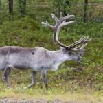 14 Finnland First Reindeers